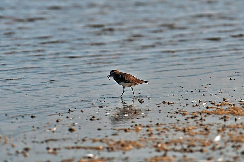batuíra se alimentando.Parque Nacional da Lagoa do Peixe.