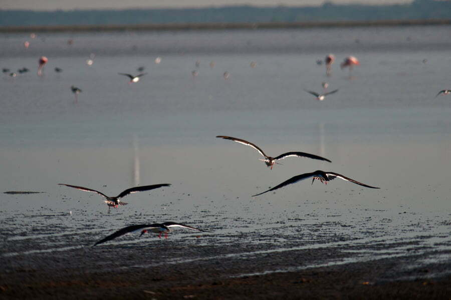 talha-mares-em-voo-no Parque Nacional da Lagoa do Peixe.