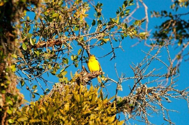 Imagem de um canário-da-terra.