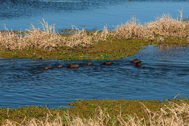 Estação Ecológica do TAIM, imagem de capivaras nos banhados do TAIM,