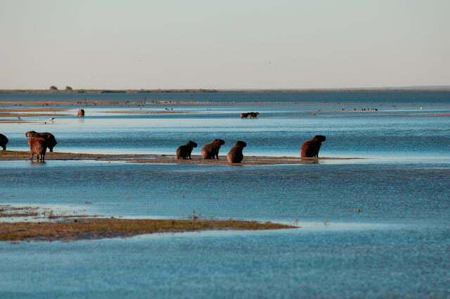 Estação Ecológica do TAIM, imagem de capivaras a beira da lagoa Mangueira, RS.