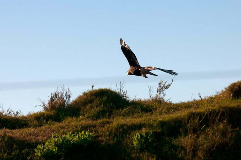 gavião carcará em voo na Estação Ecológica do Taim