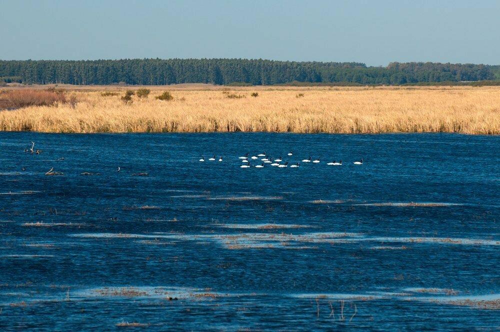 imagem de cisnes-de-pescoço-negro símbolo da estação ecológica do Taim