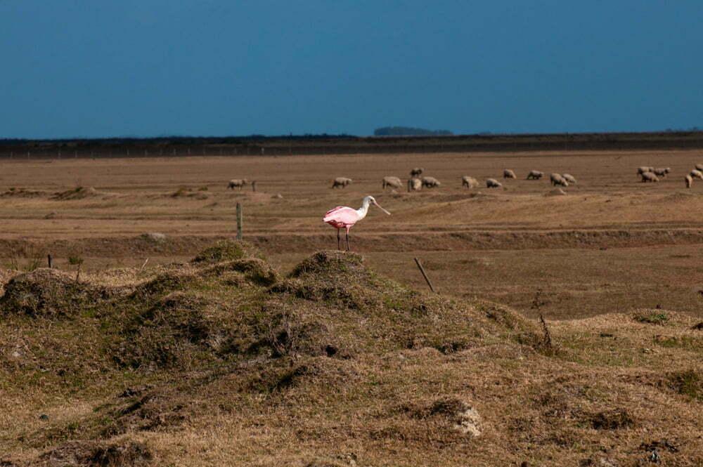 Estação Ecológica do TAIM, imagem de um colhereiro pousado