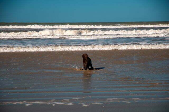 Cena de um filhote de leão-marinho na praia do Cassino, RS