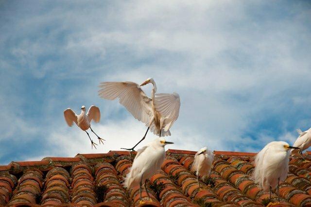 Estação Ecológica do TAIM, imagem de graças-brancas pousadas num telhado
