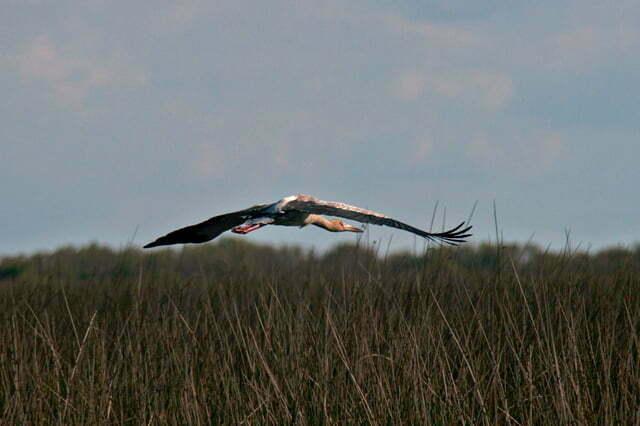 imagem da ave joão- grande, em voo, no TAIM, RS