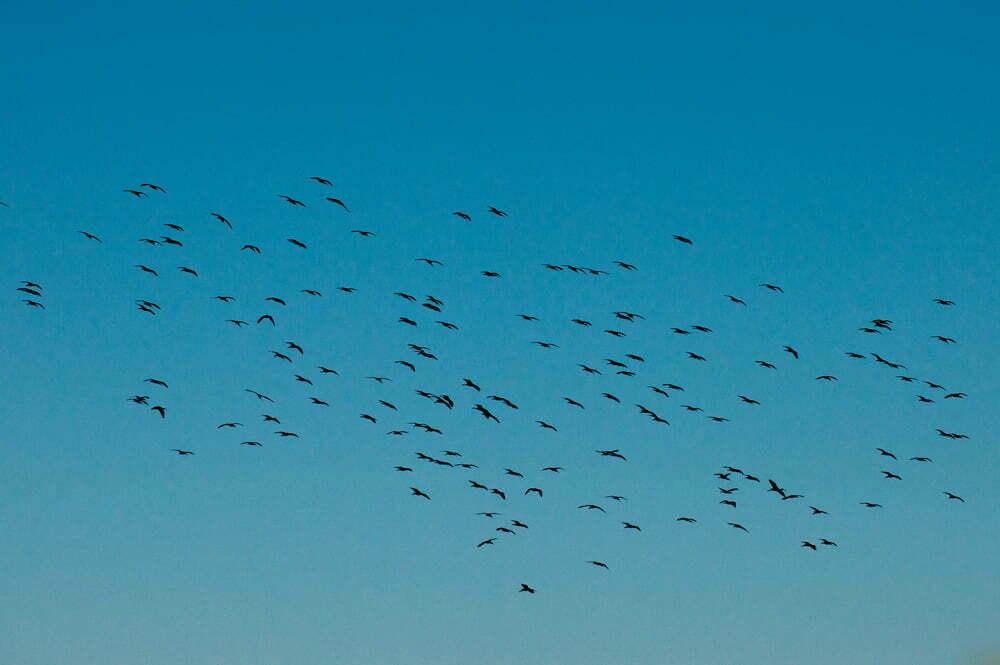 imagem de revoada de maçaricos-pretos na Estação Ecológica do TAIM