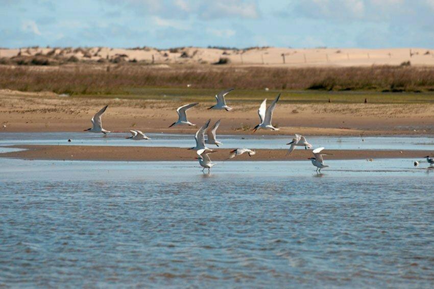 Estação Ecológica do TAIM, imagem de trinta-réis-de-bico-vermelho praia do cassino