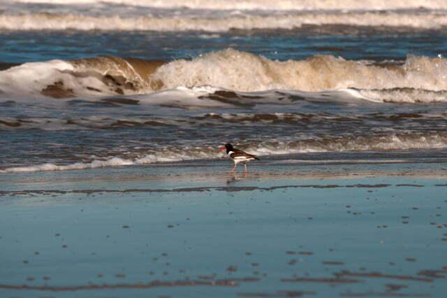 Imagem de um Ostreiro na praia do Cassino, RS.