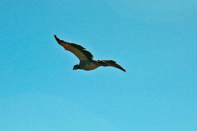 Imagem da ave Tahã em voo