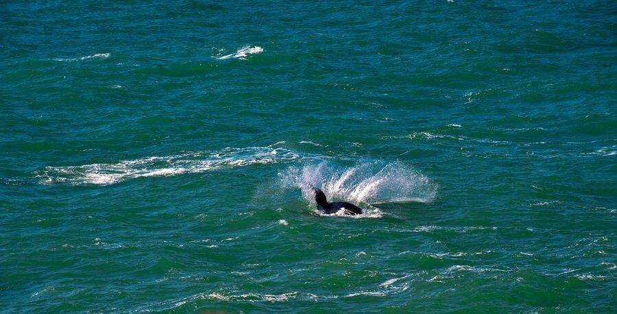Baleia Jubarte saltando em Santa Catarina