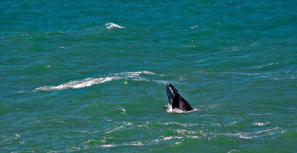 baleia-pulando-apa da baleia franca