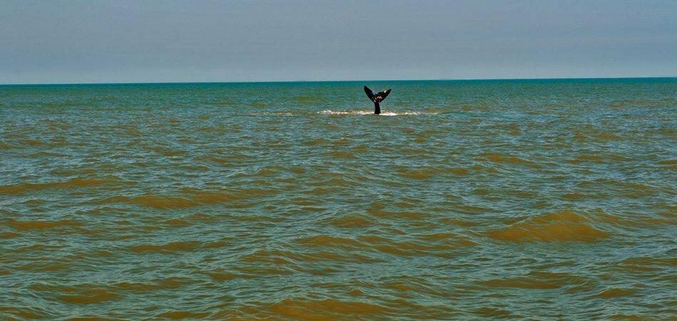 cauda de uma baleia franca fora do mar.